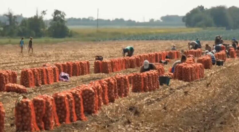 Урожай репчатый лук, цены