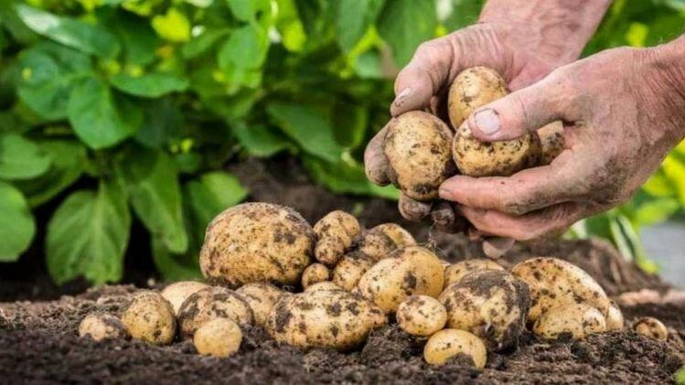 В Украине втрое подорожала картошка