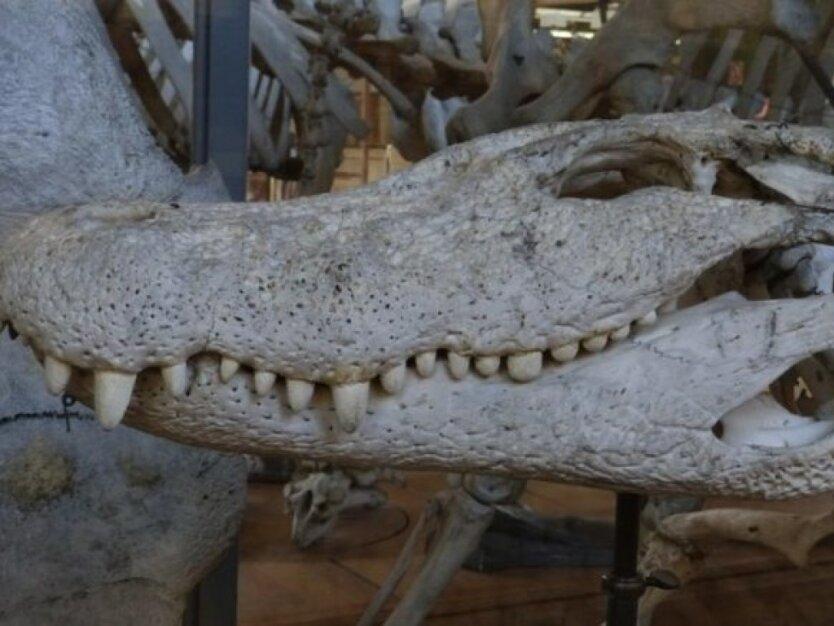 крокодил1
