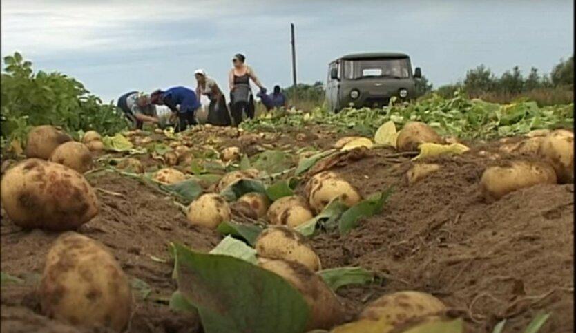 Аналитики спрогнозировали ситуацию с ценами на украинский картофель