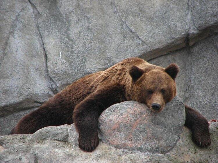 зоопарк медведь