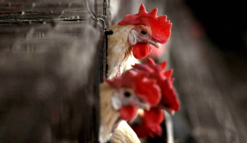 В Китае зафиксировали случай заражения человека птичьим гриппом H10N3