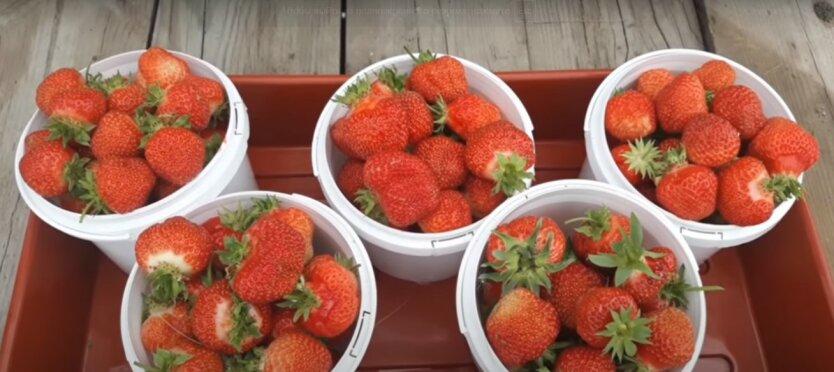 В Украине подорожала клубника,рост цен на клубнику,урожай клубники,купить клубнику