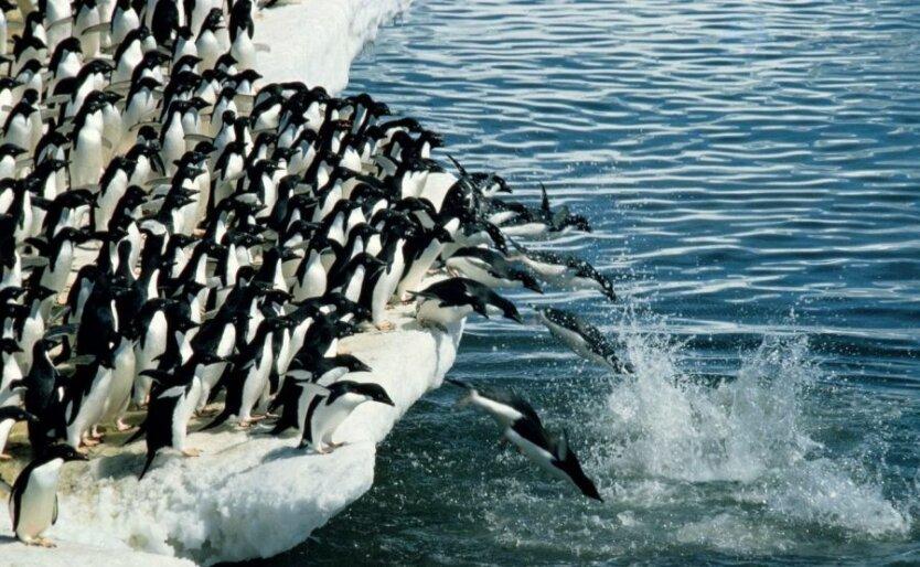 pingvinyi-adeli