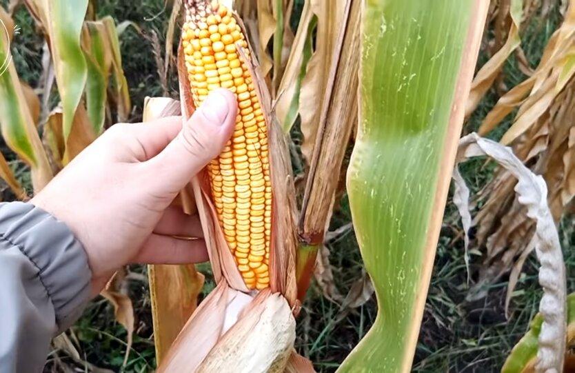 Кукуруза, цены, урожай