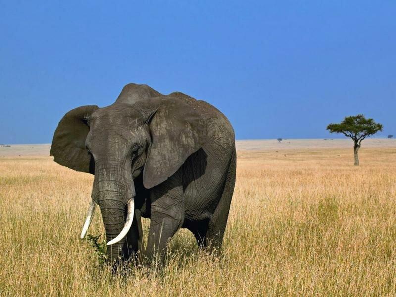 Слон Зимбабве