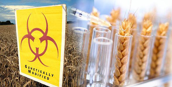пшеница гмо