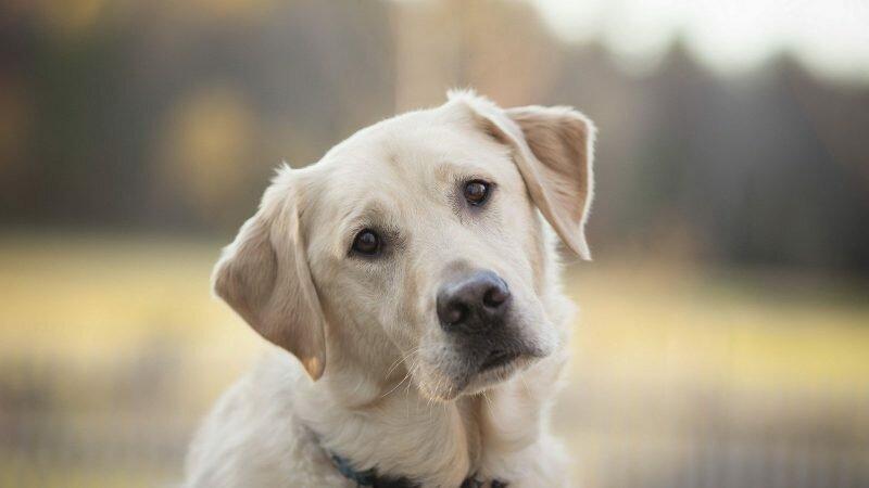лабрадор собака