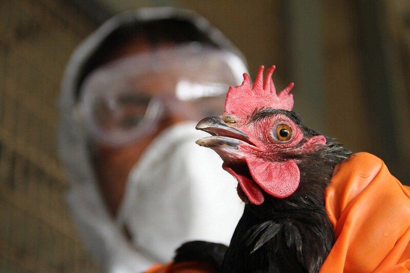 курица птичий грипп