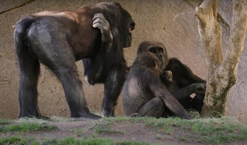 Коронавирус у горилл