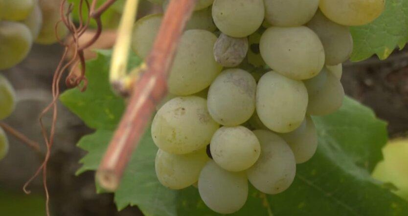 Виноград, цены, урожай