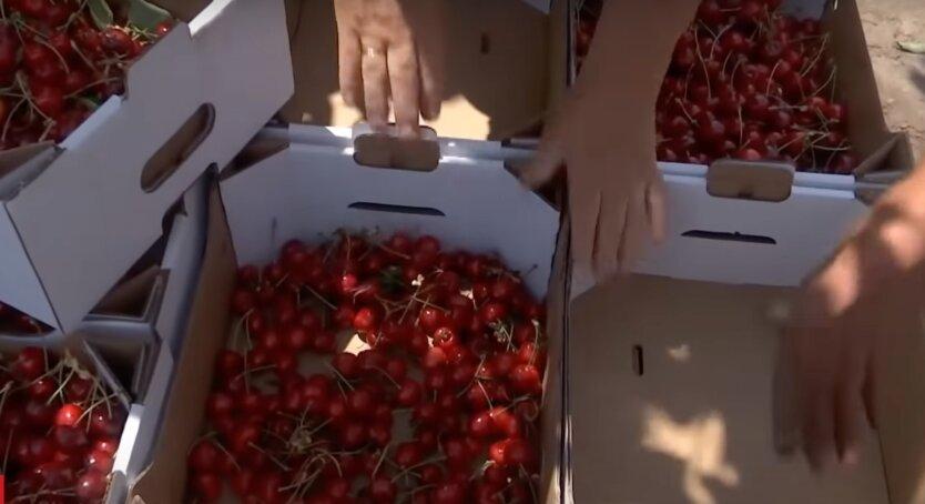 Черешня в Украине, цены на черешню
