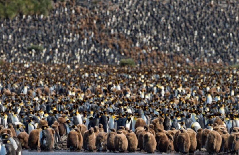 Пингвины Южной Георгии
