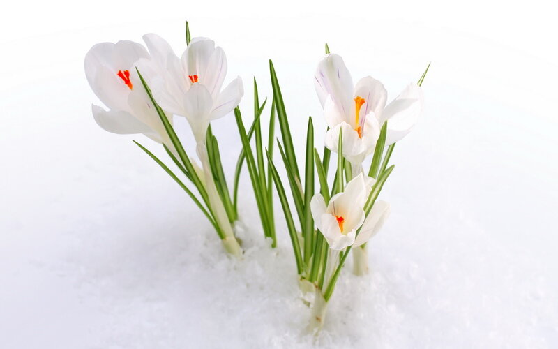 подснежники весна