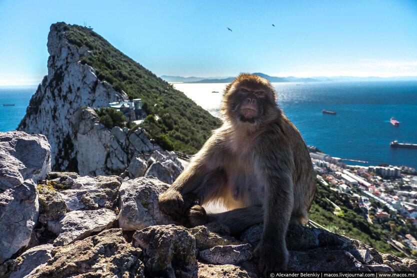 гибралтар, обезьяна