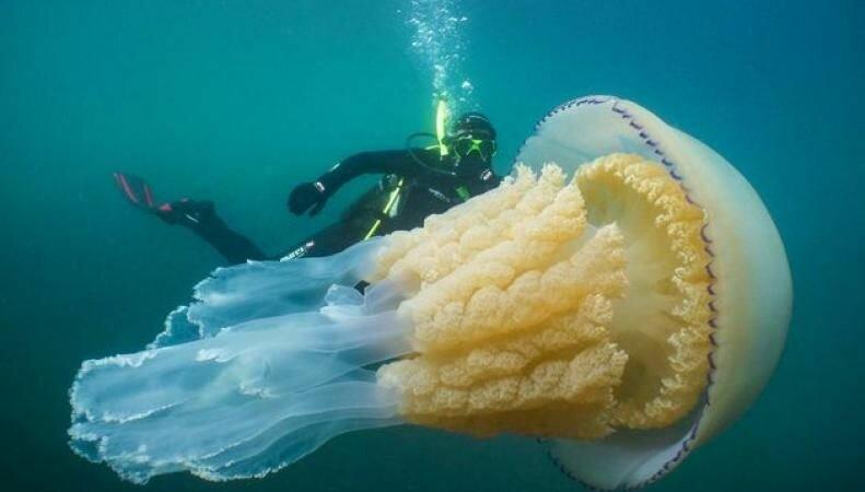 медузая дайвер