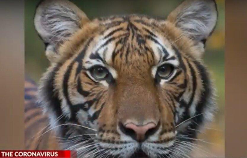 Коронавирус у тигра