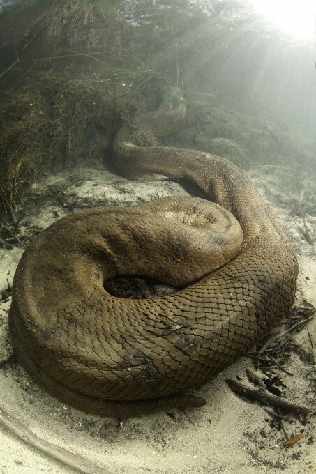 anaconda_wwwpixanewscom-2-453×680