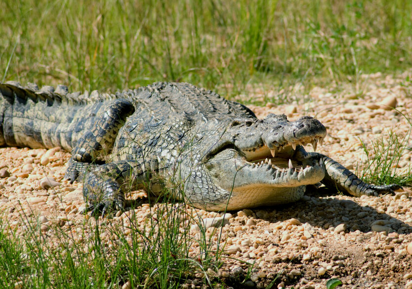 nilskiy-krokodil