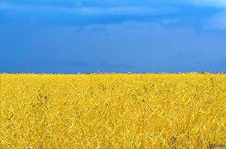 Украина жито